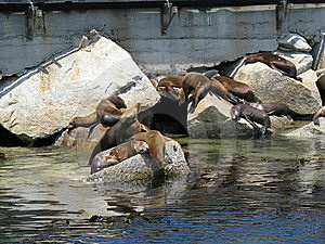California Sea Lions  Stock Photography - Image: 5701702