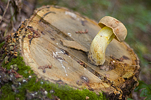 Mushroom On A Stump Royalty Free Stock Image - Image: 5703956