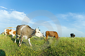 Cows On A Meadow Stock Photography - Image: 5705662