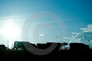 Sun Scy And Cows Stock Image - Image: 5705701
