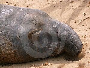 Elephant Seal Stock Photography - Image: 5712772