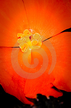 Stamen,pistil And Pollen Royalty Free Stock Photo - Image: 5713145