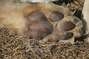 Lion Cub Paw Royalty Free Stock Photos - Image: 5713818