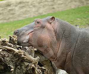 Hippopotamus Stock Photography - Image: 5714352