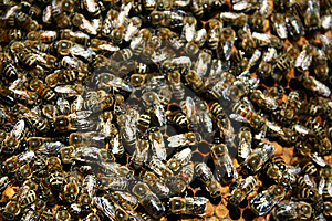 Bees Stock Image - Image: 5714431