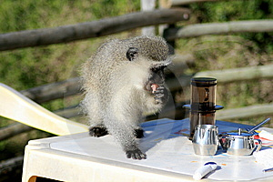 Monkey Stealing Food Royalty Free Stock Photos - Image: 5715298