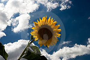 Sunflower1 Royalty Free Stock Image - Image: 5723416