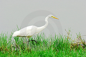 Egret Royalty Free Stock Images - Image: 5724079