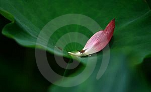 Lotus Leaf Royalty Free Stock Images - Image: 5725419