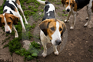 Rack of hounds of dogs Royalty Free Stock Photos