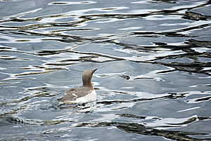 Guillemot On The Sea. Stock Photography - Image: 5730192