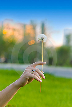 Dandelion In Girl's Hand Royalty Free Stock Image - Image: 5733246