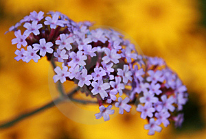 Purple and Yellow Flowers Royalty Free Stock Photography