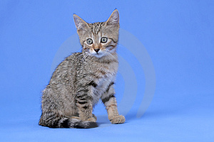 Kitty On Blue Background Royalty Free Stock Image - Image: 5751926