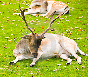 Laying Deer Stock Photography - Image: 5754592
