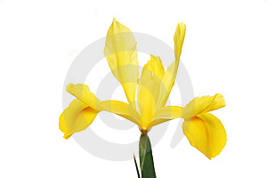Yellow Dutch Iris Royalty Free Stock Image - Image: 5760306