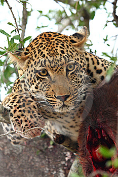 Leopard In A Tree With Kill Royalty Free Stock Photo - Image: 5762145