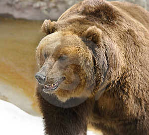 Great Brown Bear Stock Photography - Image: 5764562