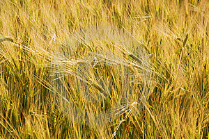 Ears Of Wheat Stock Photos - Image: 5767393