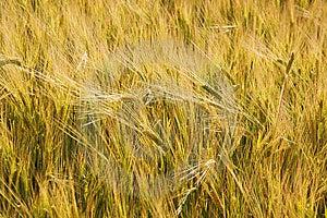 Ears Of Wheat Stock Photos - Image: 5767393