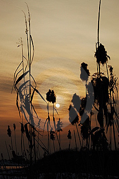 Reed Sunset Stock Photography - Image: 5781402