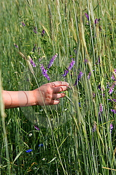 Male Hand Touching Wildflowers Royalty Free Stock Image - Image: 5785276