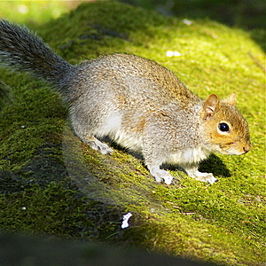 Squirrel Royalty Free Stock Image - Image: 5790616