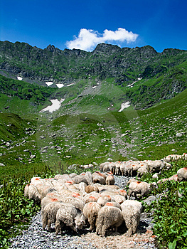 Sheeps On Road In Mountain Stock Images - Image: 5796084