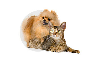 The spitz-dog and cat Stock Photography