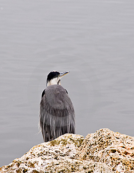 Heron Fishing Royalty Free Stock Image - Image: 5798246
