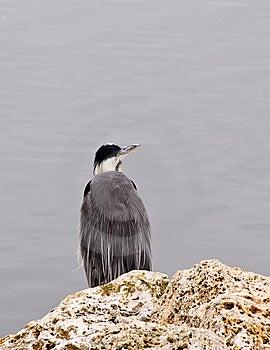 Heron Fishing Royalty Free Stock Image - Image: 5798246