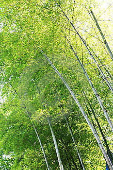 Sunlight Through Bamboos Royalty Free Stock Photo - Image: 5798985