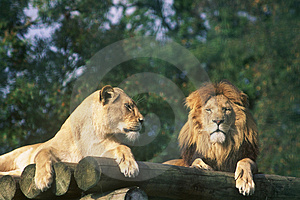 Lion And Lioness Royalty Free Stock Photography - Image: 581407