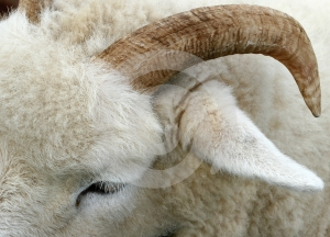 The Horn of a Ram