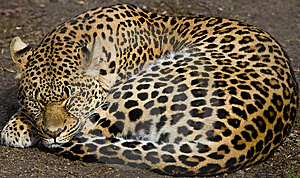Leopard Napping Royalty Free Stock Photography - Image: 5808977
