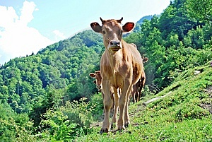 Cows In Mountain Royalty Free Stock Image - Image: 5813226