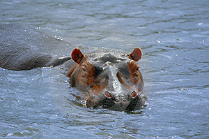 Hippopotamus Royalty Free Stock Images - Image: 5814209