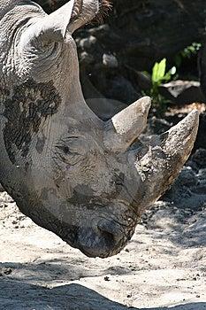 Muddy Rhinoceros Head Stock Images - Image: 5814924