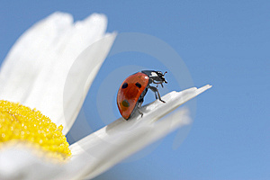 Ladybird Sits On A Petal Of A Camomile Stock Image - Image: 5816691
