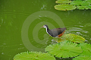 Water Bird And Water Lily In The Pond Stock Image - Image: 5820541