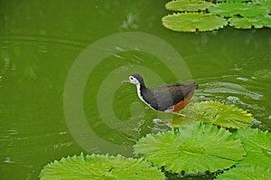 Bevattna Fågeln Och Näckrosen I Damm Fotografering för Bildbyråer - Bild: 5820541