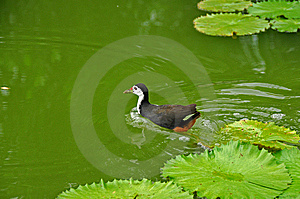 Water Bird And Water Lily In The Pond Stock Photography - Image: 5820542
