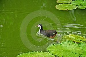 Bevattna Fågeln Och Näckrosen I Damm Arkivbild - Bild: 5820542