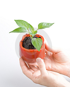 Transplant Of A Tree In A Pot From Fresh Pepper Royalty Free Stock Photos - Image: 5822038