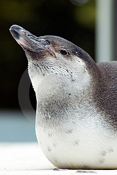 Close Up Penguin Royalty Free Stock Image - Image: 5822176