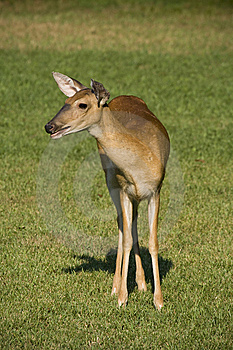 Deer In Grassy Field Royalty Free Stock Image - Image: 5832126
