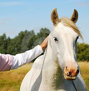 Biały Koń Obraz Stock - Obraz: 5832521