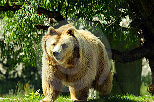 Photo Of A European Brown Bear Royalty Free Stock Images - Image: 5832829