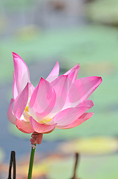 Pink Water Lily Series 2 Stock Photo - Image: 5837510