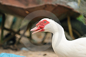 Red Beak Duck Series 4 Stock Photography - Image: 5837792